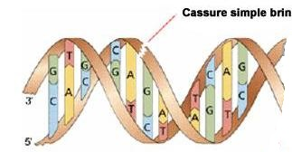 cassure_simple_brin_ADN