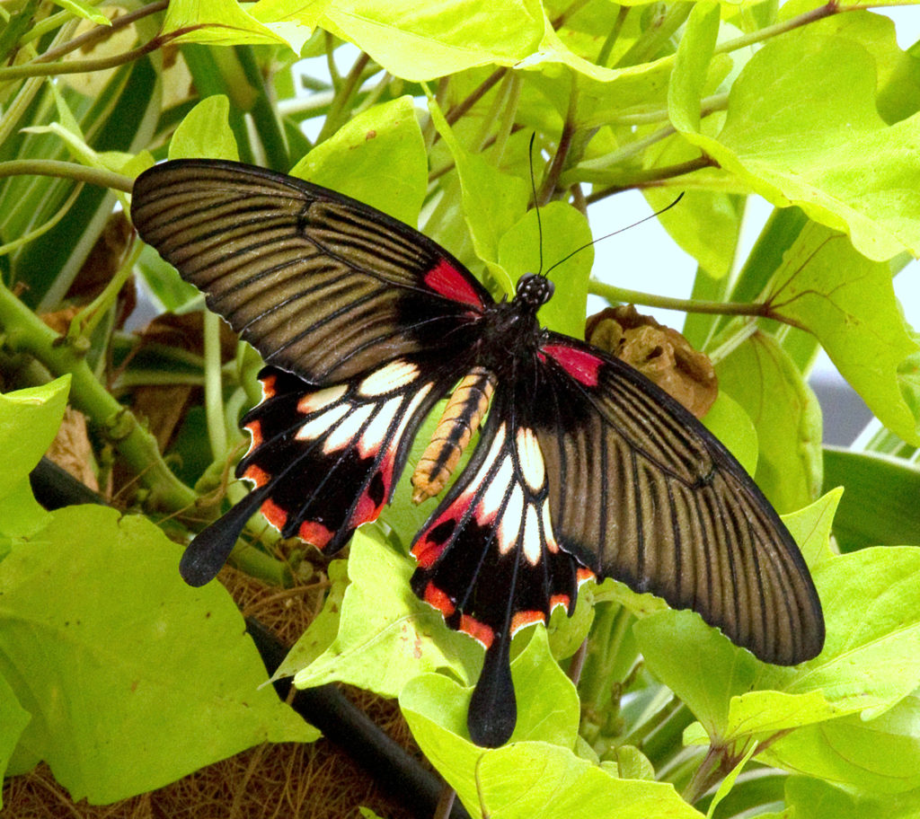 Great Yellow Mormon - Papilio lowi