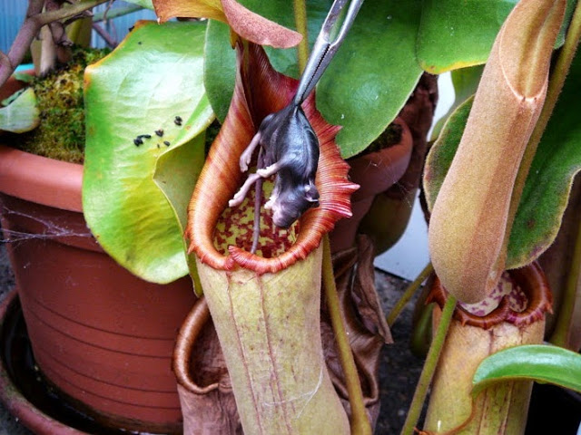 Nepenthes_rat
