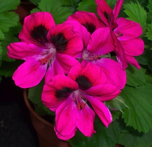 Pelargonium_karl_offenstein