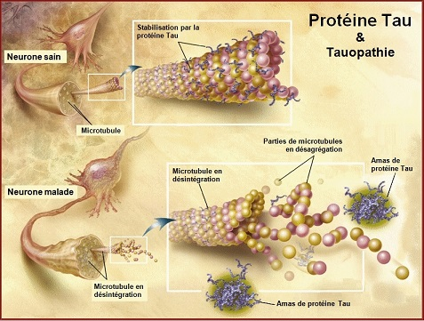 TauProtein