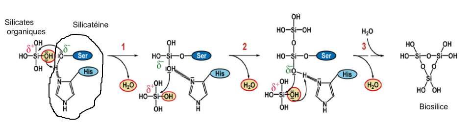 mécanisme_silicateine