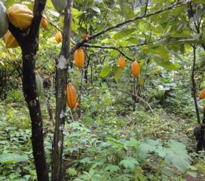 Cocoa_plantation