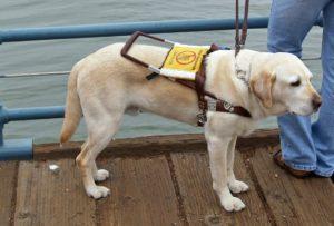 Labrador _ Chien guide