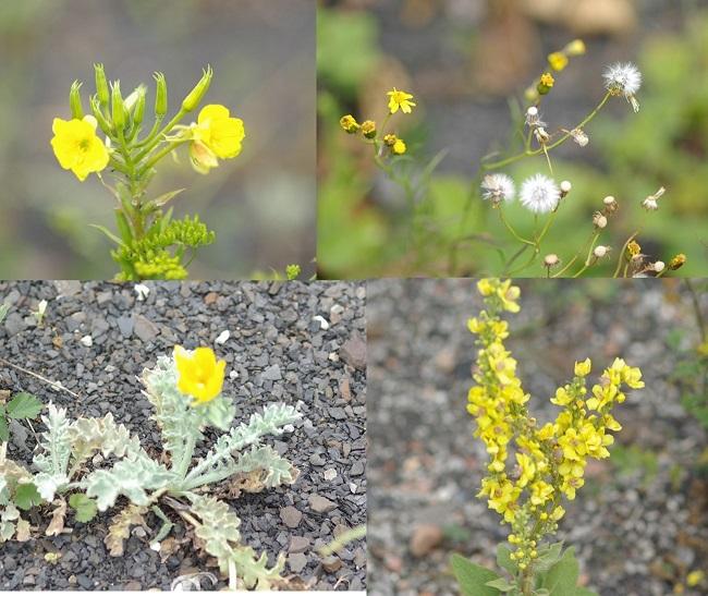 fleurs_jaunes